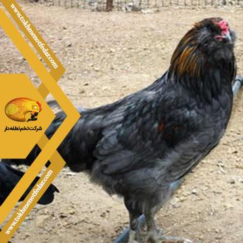 اولیو اگر در انواع نژاد مرغ