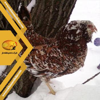 Orloff در انواع نژاد مرغ