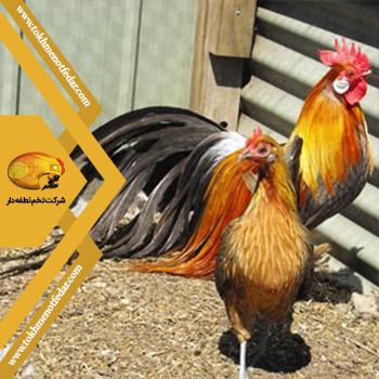 فونیکس در انواع نژاد مرغ