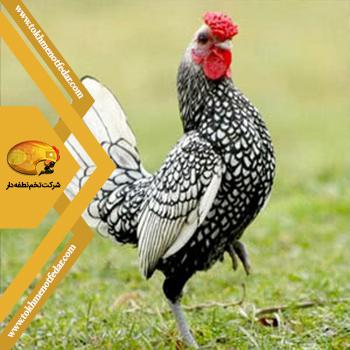 سیبرایت در انواع نژاد مرغ