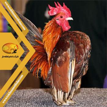 سراما در انواع نژاد مرغ