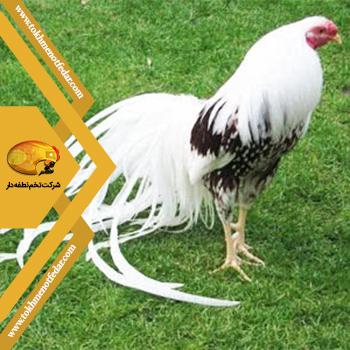یوکوهوما در انواع نژاد مرغ