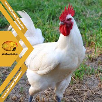 بریسی در انواع نژاد مرغ