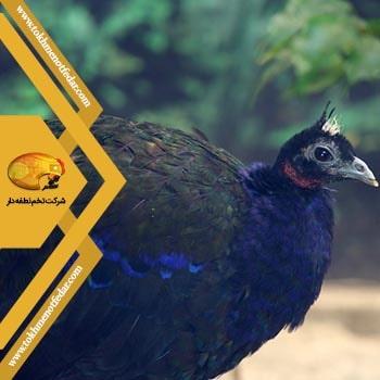 کونگو در انواع نژاد طاووس
