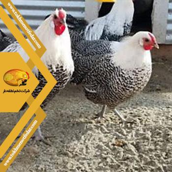مرگبار در انواع نژاد مرغ
