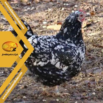 گورنای در انواع نژاد مرغ