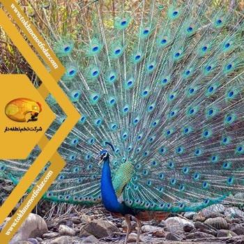 طاووس هندی