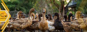 انواع نژاد اردک
