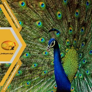 انواع نژاد طاووس