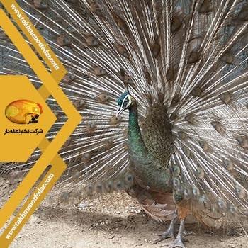 طاووس اوپال