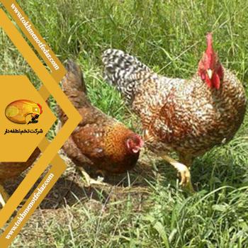 Rhodebar در انواع نژاد مرغ