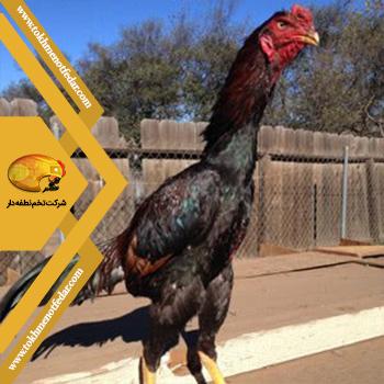 شامو در انواع نژاد مرغ
