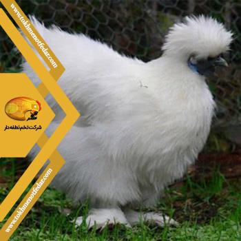 ابریشمی در انواع نژاد مرغ
